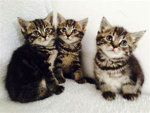3 Lovely Silver&Brown Marbled Tabby kittens | Southall ...
