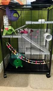 3 Female Dumbo rats, cage and accessories | Glasgow ...