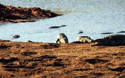 Krokodile Hintergrundbilder Kostenlos