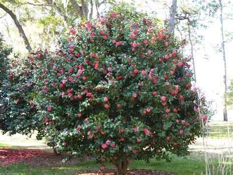 how to prune camellia tree best 25 camelia tree ideas on pinterest camellia camelia bush and shade loving shrubs
