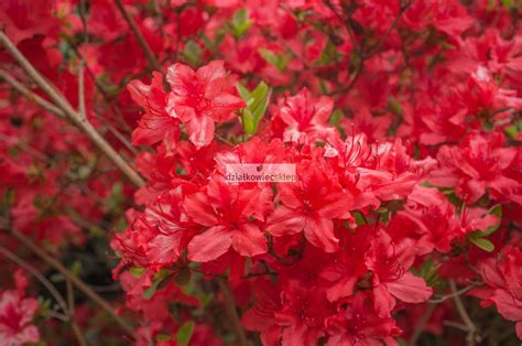 Azalia A azalia wielkokwiatowa nabucco azalia nabucco azalie