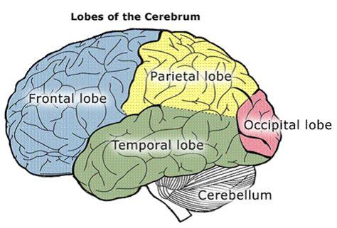 where are the temporal lobes in the brain socratic