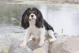 Cavalier King Charles Spaniel Puppies Color Colour Tri Color