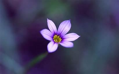 Flower Single Purple Wallpapers Background Grace Desktop