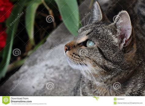 Tabby Cat Sitting Near A Flowering Red Roses Stock Photo