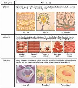 Types Of Tissues  U2013 Anatomy  U0026 Physiology