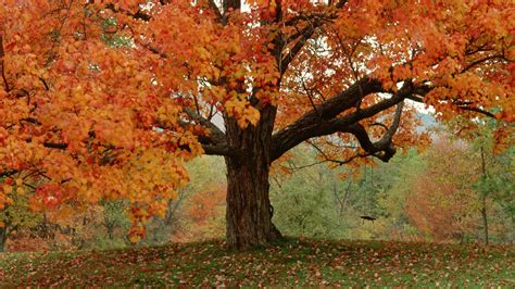 fall trees autumn trees wallpaper 751311