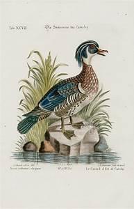 Anas Cristatus Elegans Duck From George Edwards Seligmann