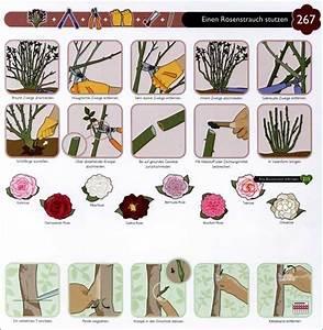 Rosen Schneiden Wann : wann rosen schneiden wann rosen schneiden anleitung zum rosenschnitt rosen schneiden anleitung ~ Eleganceandgraceweddings.com Haus und Dekorationen