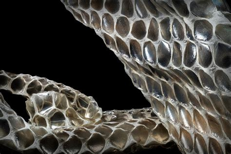 shedded snake skin photograph by robert storost