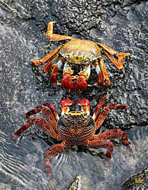 colorful crab colourful crabs the and its creatures crabe