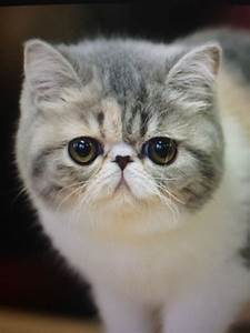 Wanted Male Exotic Shorthair Kitten London North