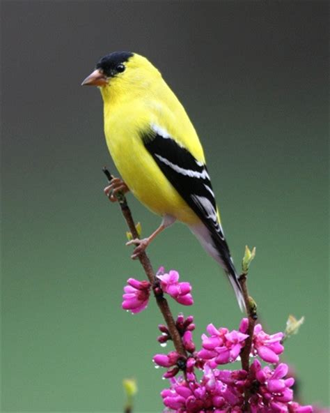 goldfinch to attract me to your habitat yellow cosmo