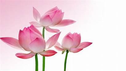 Lotus Flower Wallpapers Flowers Pink Background Rose
