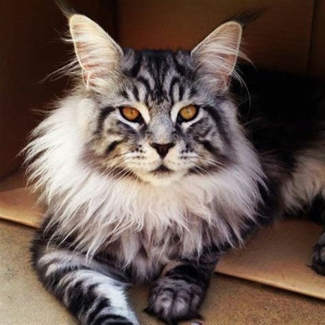 le chat maine coon pr 233 sent 233 en 69 photos amusantes archzine fr