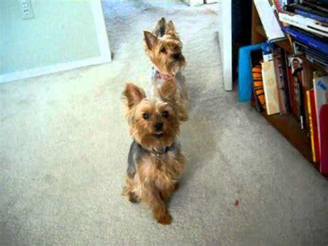 do yorkie poos bark a lot terrier portal do para quem ama cachorros