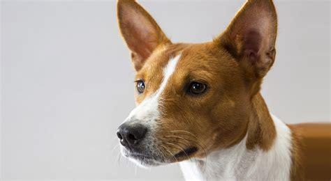 basenji mix dog