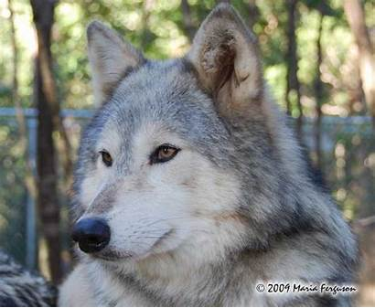 Wolf Wolves Female Howl Animal Special Everythingwolf