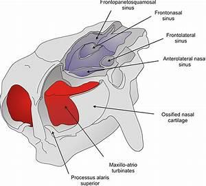Glyptodont Nasal Anatomy  Figures