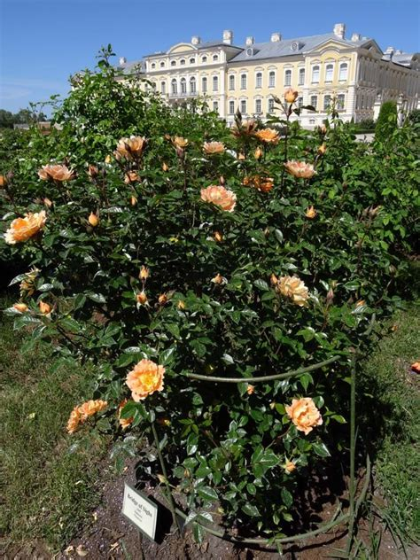 Rožu dārzs ir pilnziedā - Rundāles pils