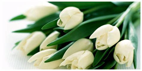 tulipano fiore il tulipano bianco semplicit 224 ed eleganza