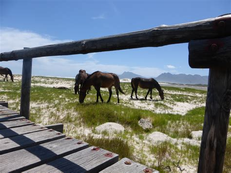wild africa horses south flamingo lake cape western fisherhaven town uploaded user african places