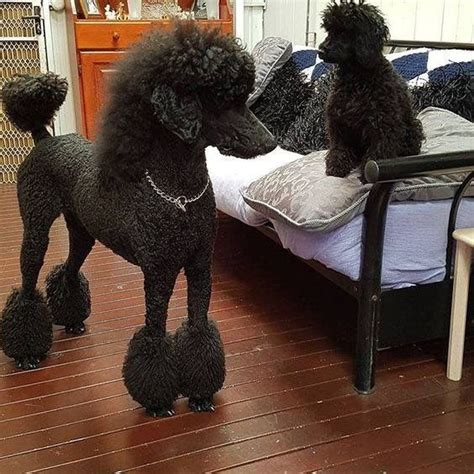 images  poodles  pinterest