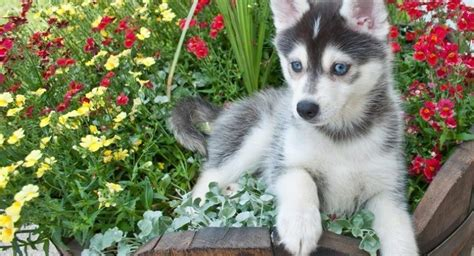 Does A Pomsky Shed A Lot by What You Need To Before Buying A Pomeranian Husky A