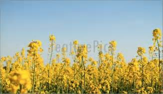 What Fields Are They Colza