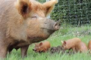 Tamworth Pigs