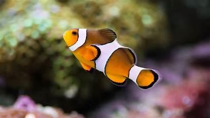 Clownfish Fish Wallpapers Animals Clown 4k Background