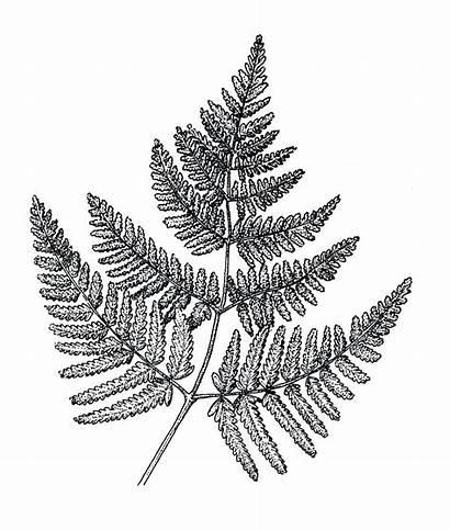 Fern Drawing Leaf Drawings Simple Tattoo Line