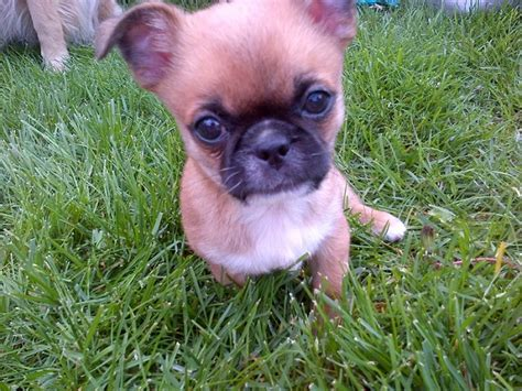 Unreal Pekingese Cross Breeds You Have To See To Believe