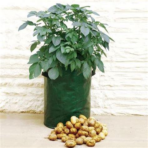 coltivare patate in vaso come coltivare patate in vaso come fare a