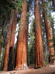tallest tree on earth redwood national and states park