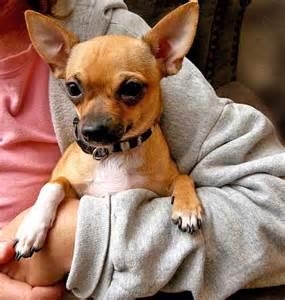 Chihuahua Dog Names