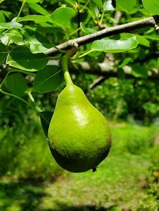 growing pear trees with plant nursery fruit trees