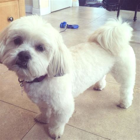 My Lhasa Apso Is Shedding Hair by Lhasa Poo Lhasa Apso Poodle Mix Info Temperament