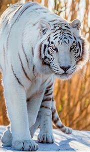 White Tiger HD Wallpaper | Background Image | 2000x1600