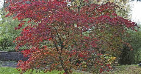 Japanischer Garten Ahorn by Japanischer Zwerg Ahorn Garten Top Kaufen Japanischer