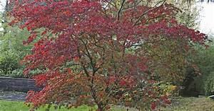 Roter Japanischer Ahorn : japanischer ahorn winterhart japanischer ahorn dissectum 1 pflanze acer winterhart ebay ~ Frokenaadalensverden.com Haus und Dekorationen