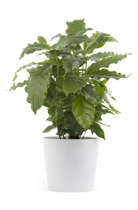 Since the average coffee tree produces 10 pounds of coffee cherry per year (2 pounds green beans), then 16 coffee trees are required to supply and marketed beautifully sponsoring and working with roasters and cafes who really care about good coffee. Cutting Back Coffee Plant - Pruning Of Coffee Houseplants