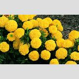 Marigold Flower Wallpaper | 1600 x 1000 jpeg 300kB