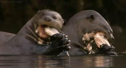 Otter Head Orange Giant Gifs Animals Secrets