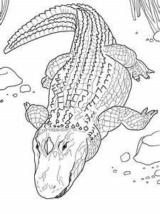 Ausmalbild Amerikanischer Alligator Ausmalbilder Kostenlos Zum Ausdrucken