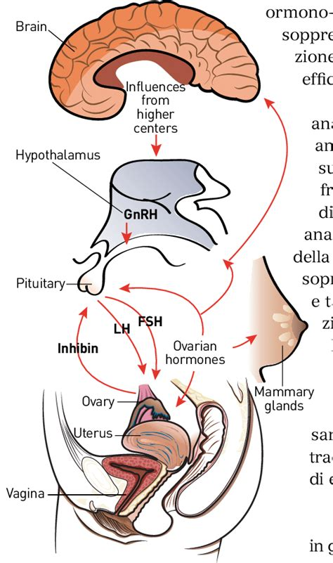 regolazione endocrina dellasse ipotalamo ipofisario