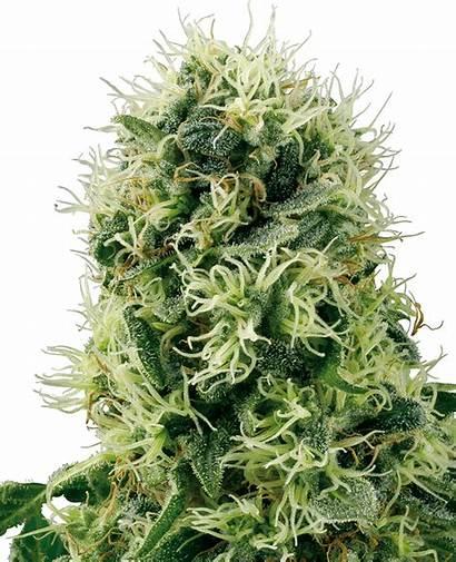 Pure Plant Power Feminized Seeds Feminizada Label