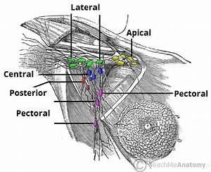Lymphatic Drainage Of The Upper Limb - Vessels