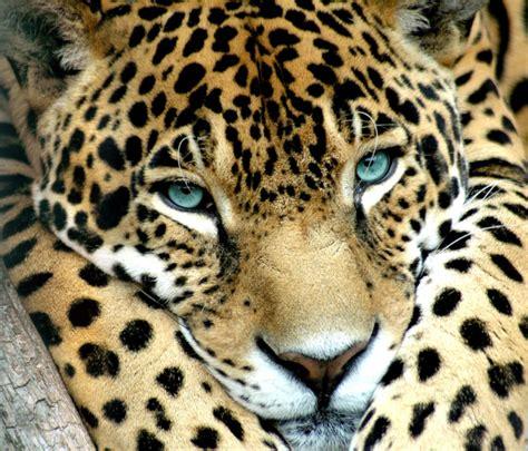 jaguar cat fantastic jaguars