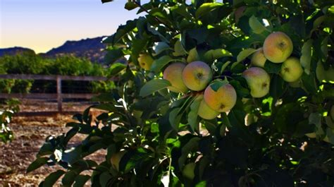 Apples On The Branch Free Stock Photo - Public Domain Pictures